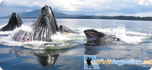 Argentina Whales
